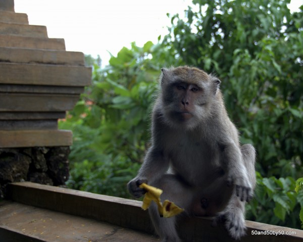 Bananas for Monkey Lunch Break for this macaque, Bali, Indonesia (Ulu Watu)