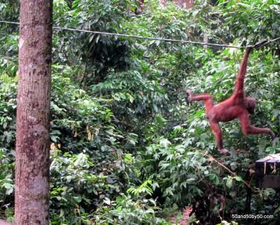 Sepilok Orangutan Rehab Cetre in Sabah, Malaysian Borneo