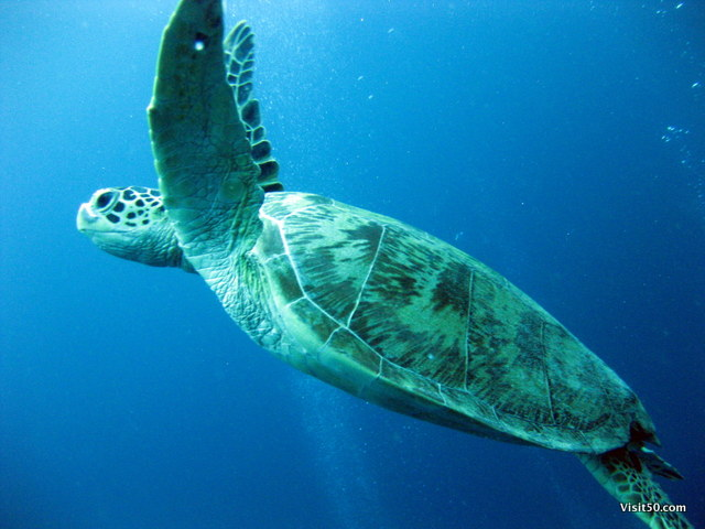 A graceful Sea Turtle swims next to us during our SCUBA dive