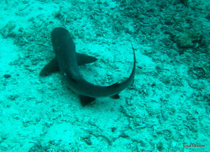 reef shark!