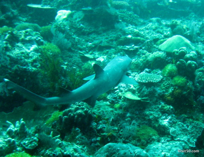 Whitetip Reef Sharks like to hang out on the ocean floor near potential meals