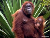 Orangutans in the Borneo wild - Malaysia - Photo by Todd L Cohen