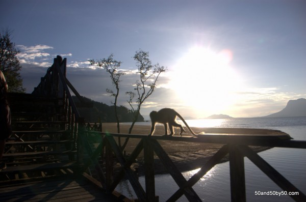 At sunset, the monkeys take over. Bako National Park, Borneo, Malaysia