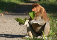 Proboscis Monkey eating lunch (leaves) at Bako National Park in Borneo, Malaysia February 2011