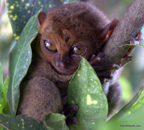 Tarsier wrapped up in a bed of leaves, in Bohol, Philippines