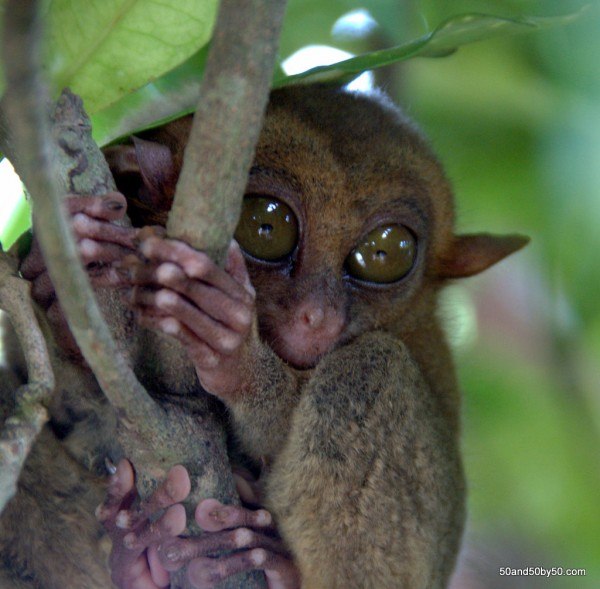 Tarsiers have little tiny hands and feet | Photo taken in Bohol, Philippines
