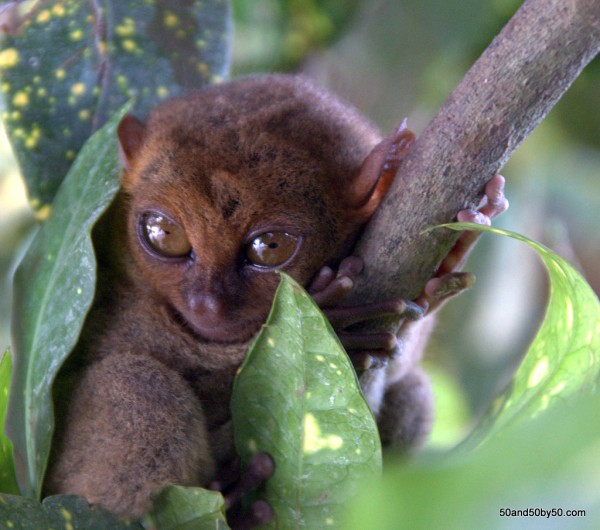 Tarsiers in Bohol, Philippines | Photo by Todd Cohen | 50and50by50.com