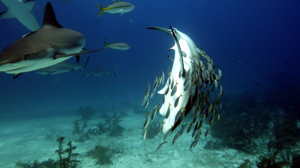 Grey Reef Sharks, Nassau, Bahamas