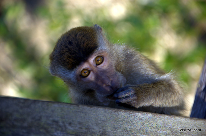 Macaque monkey in Bako in Borneo - some readers suggested this pic as a cover photo for the next Lonely Planet