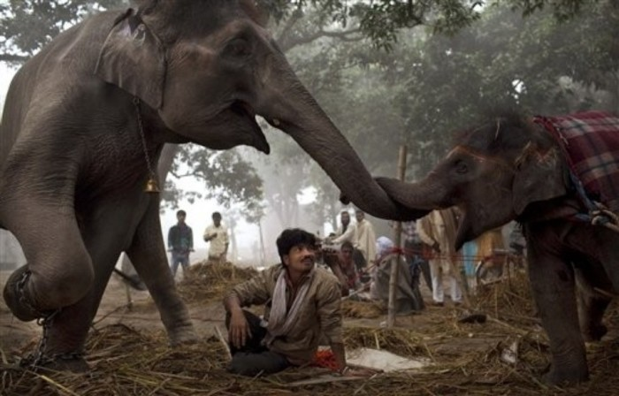 7-year-old female elephant named Laxmi reaches with her trunk to touch her 13-month old daughter in India. (AP : Kevin Frayer). Best Animal Photos