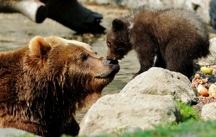 A Kamchatka Brown Bear and one of her two three-month-old cubs share a kiss in Hamburg, Germany. (Reuters - Fabian Bimmer)