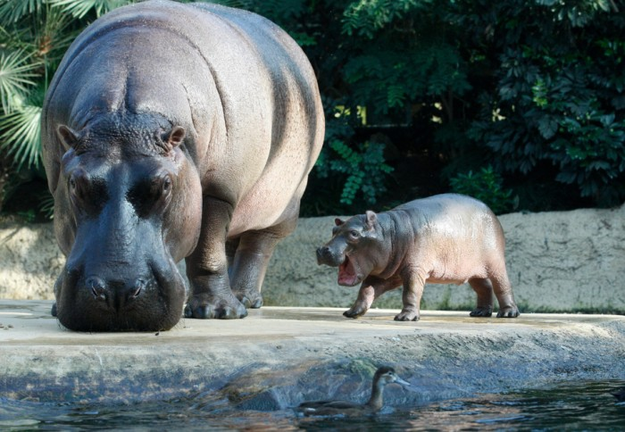 A baby hippo and his mother