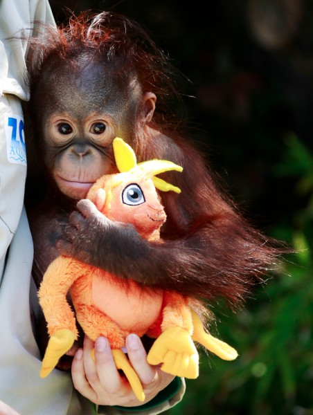 A zoo keeper holds a 9-month-old baby orangutan orphan named Boo as he plays with a toy. (Reuters / Andrea Comas)