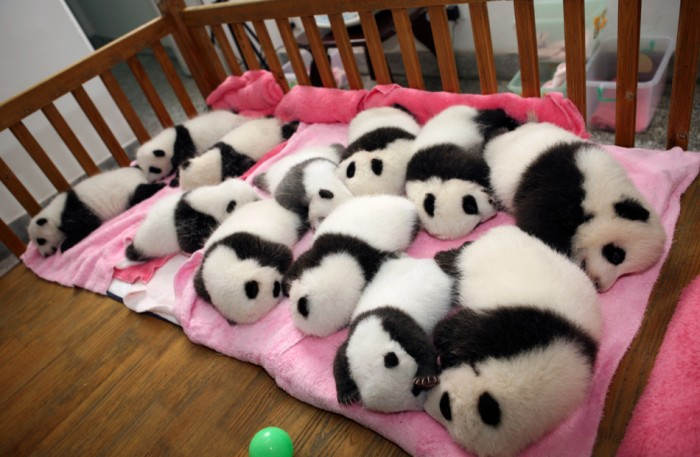 Chengdu - 12 giant panda cubs lie in a crib at the Chengdu Research Base in China. (Reuters China Daily)