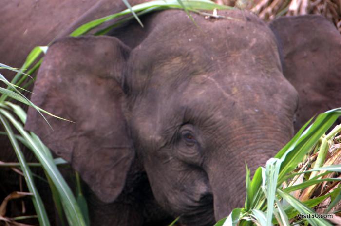 Close-up of an Asian Elephant in Malaysian Borneo in Sabah - Sungai Kinabatgangan - Visit50.com