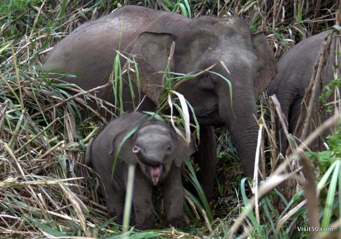 Baby Asian Elephants at Sungai Kinabatgangan in Malaysian Borneo