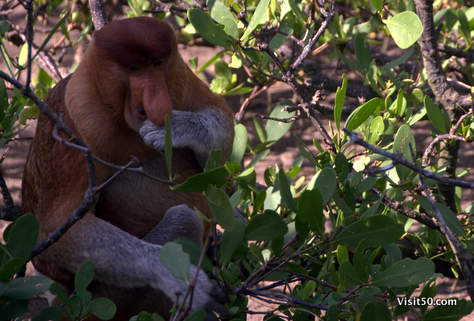 Proboscis monkeys live on a special diet of leaves, flowers and seeds of vegetation found only in rivers, mangroves, and peat swamps
