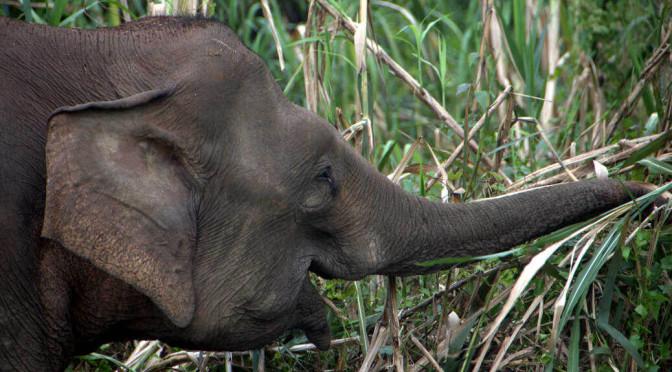 Asian Elephant at Sungai Kinabatgangan0-002