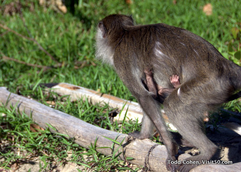Baby monkey - Photo of a baby long-tailed macaque hanging on to the mother long-tailed macaque in Borneo | Baby monkey in Bako National Park, Sarawak region of Malaysia, Asia