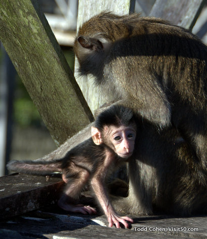 Baby Monkeys in Borneo - Baby long-tailed macaques in Borneo, Bako, Malaysia