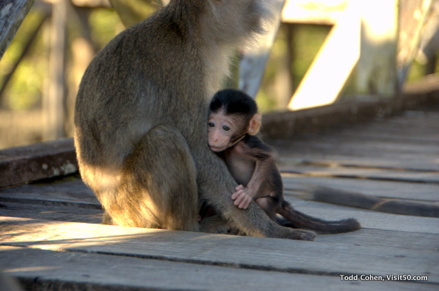 Baby monkeys - baby long-tailed macaque hanging on to the mother long-tailed macaque in Borneo | Baby monkey in Bako National Park, Sarawak region of Malaysia, Asia