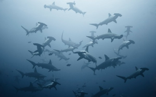 Hammerheads everywhere!