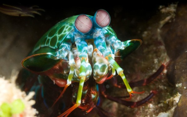 Mantis shrimp, in West Papua