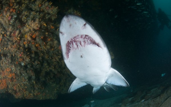 Ragged tooth shark in Aliwal Shoal, South Africa