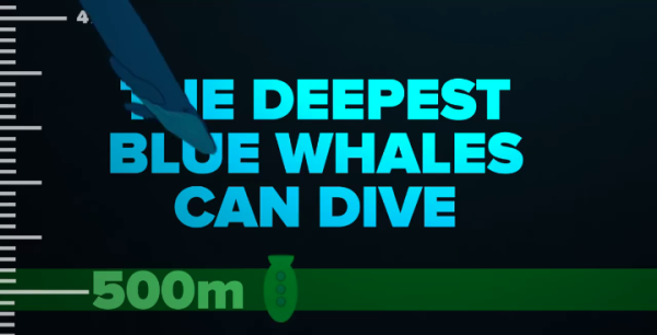 How deep can Blue Whales Dive?  Blue Whales can dive down to 500 meters deep.