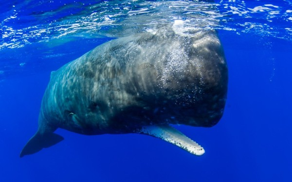 Sperm whale in Ogasawara Islands, Japan