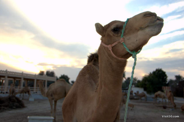 Royal Camel Farm in Bahrain