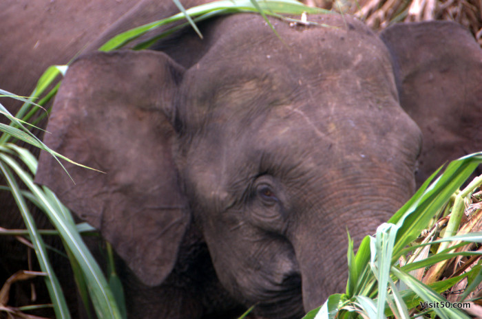 Asian Elephants in the wild | Visit50.com: Travel the World